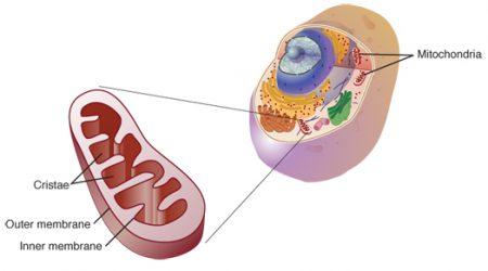 Mitochondrion_NIH