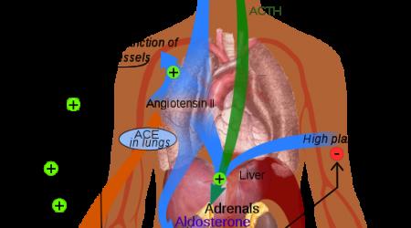 Renin-angiotensin_system_in_man_public