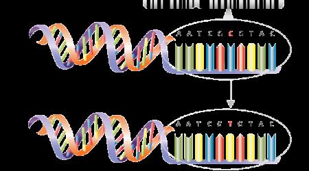 Single_nucleotide_polymorphism_wikimedia
